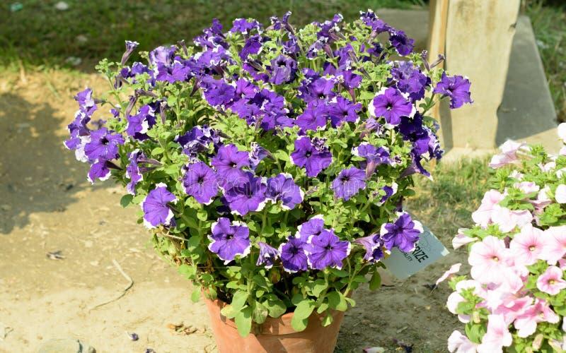 Planta de la flor del Brassicaceae de Aubrieta Aubretia Un árbol de hoja perenne de amor del sol y una flor perenne con las peque fotografía de archivo libre de regalías