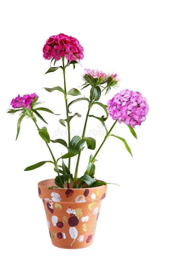Planta de la flor del clavel imagen de archivo libre de regalías
