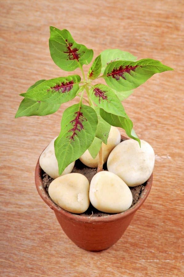 Planta de la flor del martillo fotografía de archivo