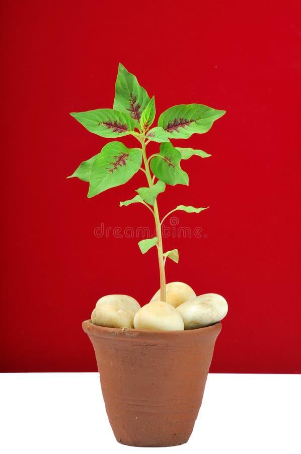 Planta de la flor del martillo fotografía de archivo libre de regalías