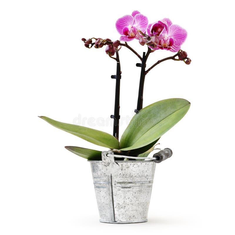 Planta de la flor de la orquídea en el cubo del metal de pote aislado en el presente blanco de la tarjeta del fondo, de la floris fotos de archivo