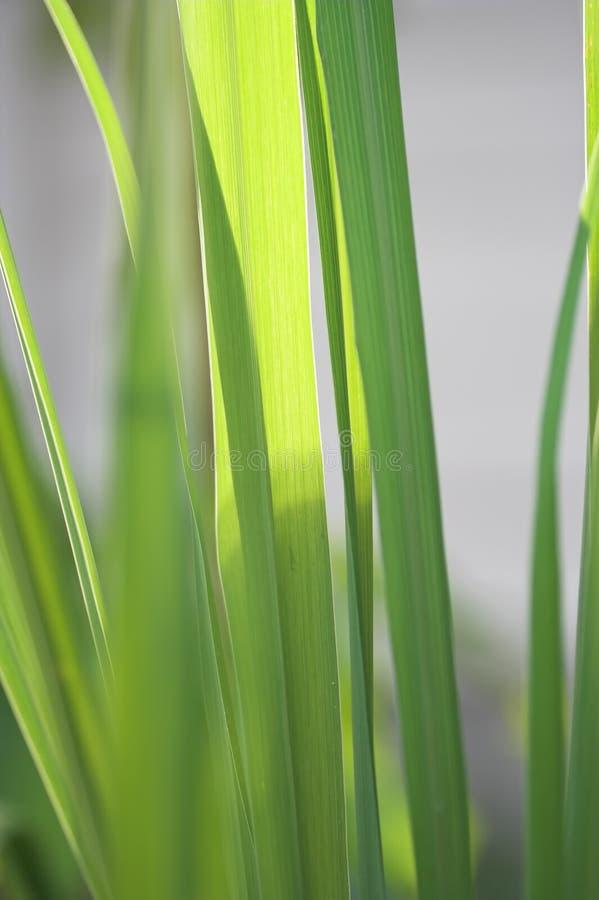Planta de la hierba de limón fotos de archivo libres de regalías