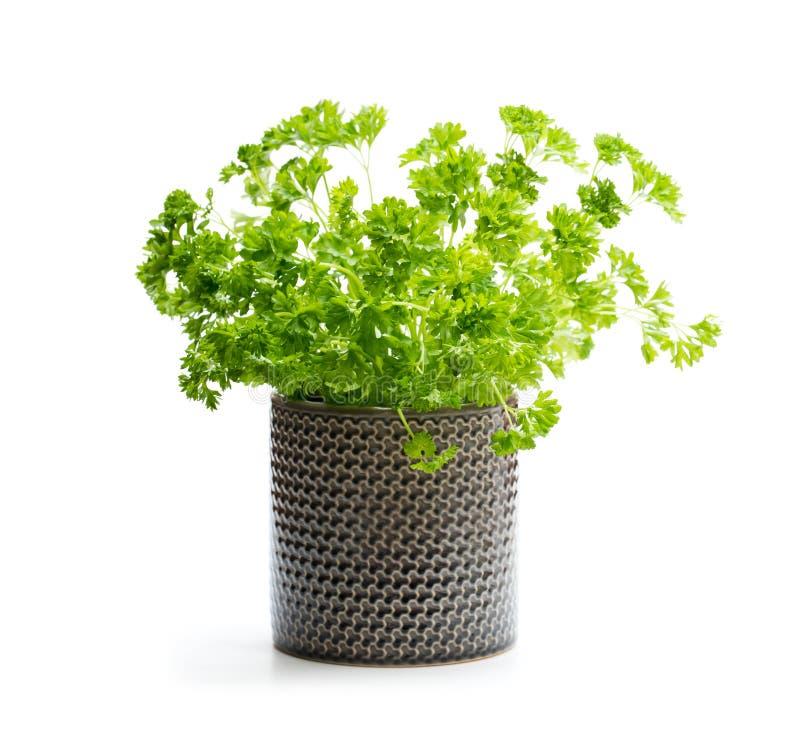 Planta de la hierba del perejil en un pote aislado en blanco foto de archivo