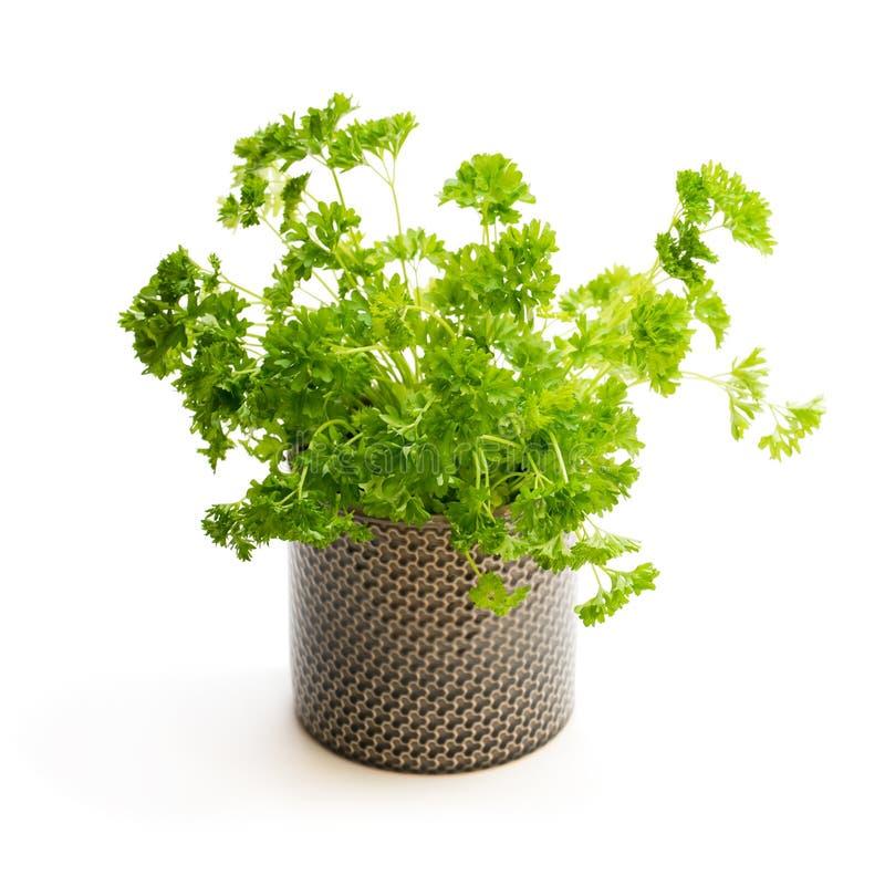 Planta de la hierba del perejil en un pote aislado en blanco imágenes de archivo libres de regalías