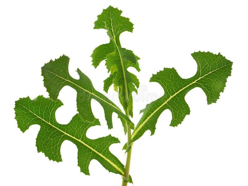 Planta de la lechuga espinosa, serriola del Lactuca fotos de archivo libres de regalías