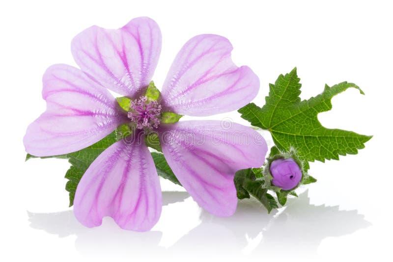Planta de la malva con las flores y las hojas fotos de archivo