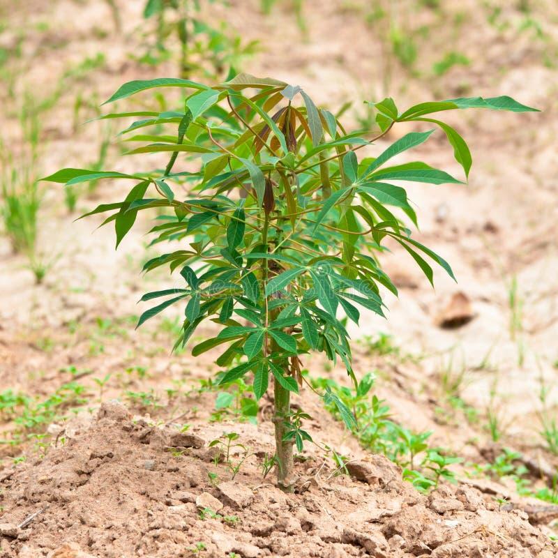 Planta de la mandioca en el campo foto de archivo