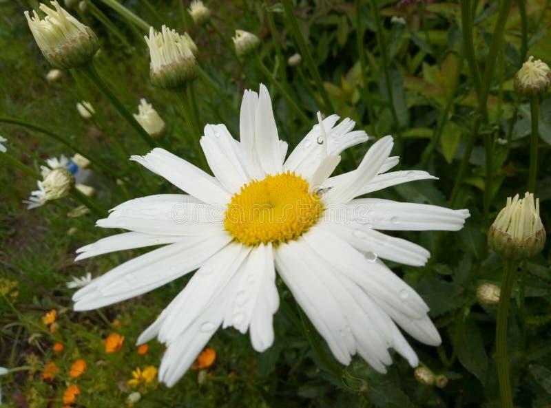 Planta de la manzanilla en la cual hay un pedazo del sol imagen de archivo libre de regalías