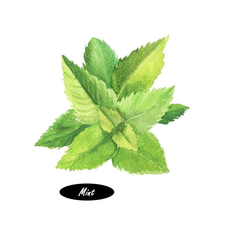 Planta de la menta de la acuarela (hierbabuena) en el fondo blanco stock de ilustración