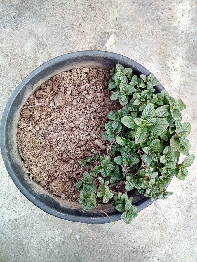 Planta de la menta en mini cesta imagenes de archivo
