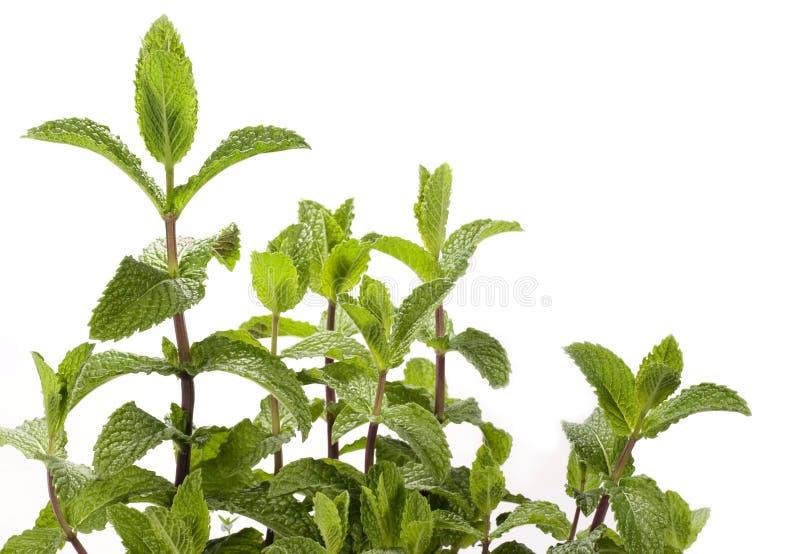 Planta de la menta - menta verde imagen de archivo libre de regalías