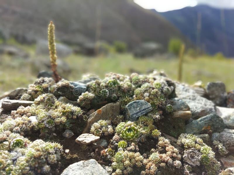 Planta de la montaña fotos de archivo