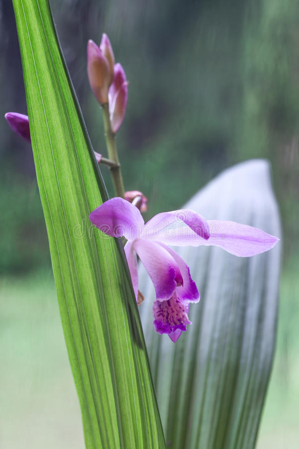 Planta de la orquídea de Uruguay fotos de archivo libres de regalías