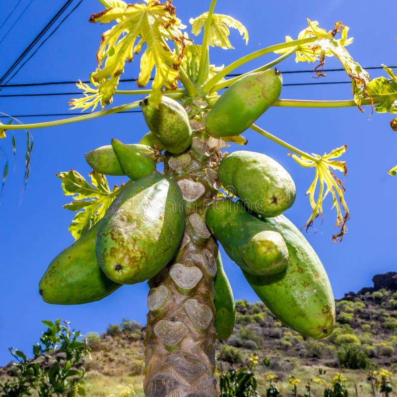 Planta de la papaya en España imagen de archivo libre de regalías