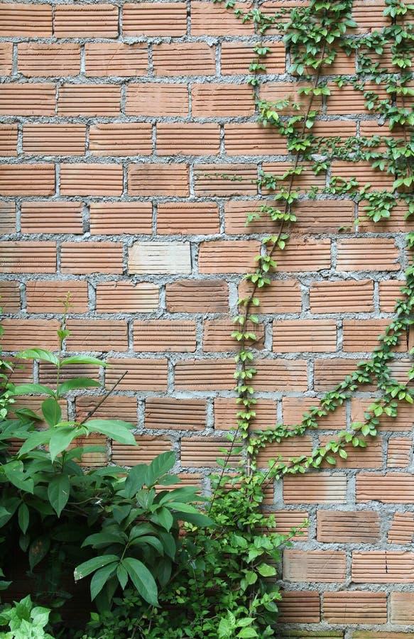 Planta de la pared de ladrillo y de la hiedra imágenes de archivo libres de regalías