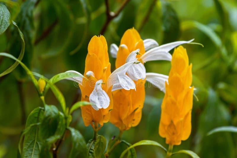 Planta de la piruleta, flor blanca que emerge de las brácteas amarillas También c fotografía de archivo