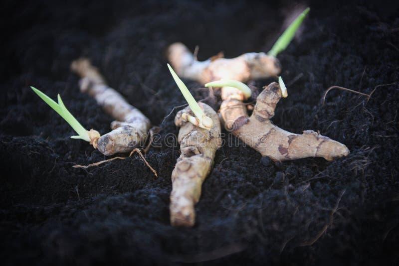 Planta de la raíz de cúrcuma en la tierra del suelo para plantar en el jardín de hierbas fotografía de archivo
