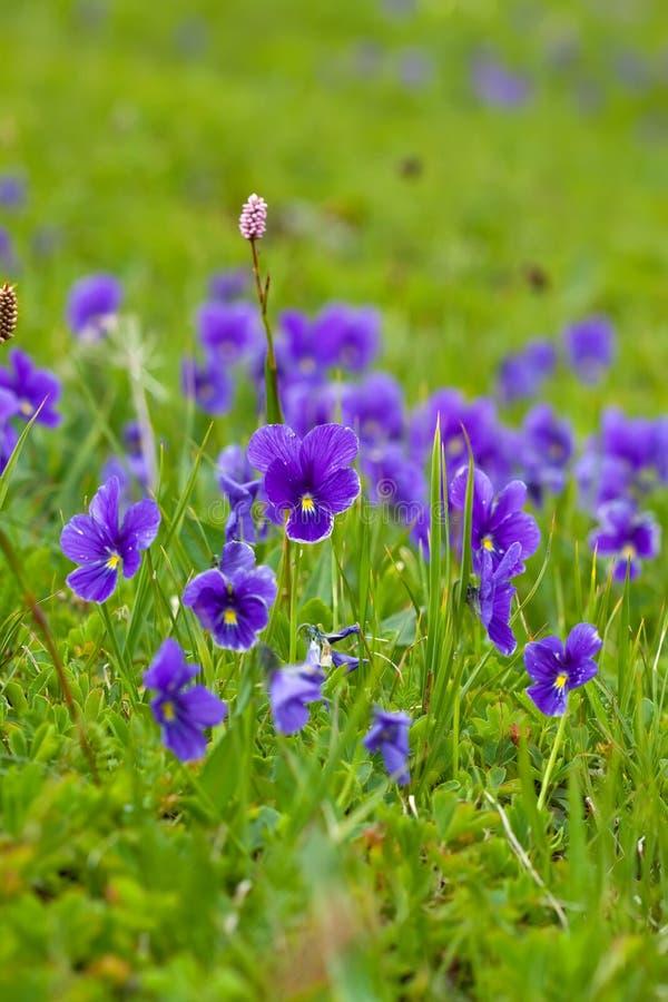 Planta de la violeta salvaje fotografía de archivo