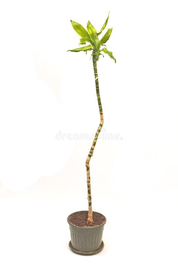 Planta de la yuca en el pote aislado en blanco imágenes de archivo libres de regalías