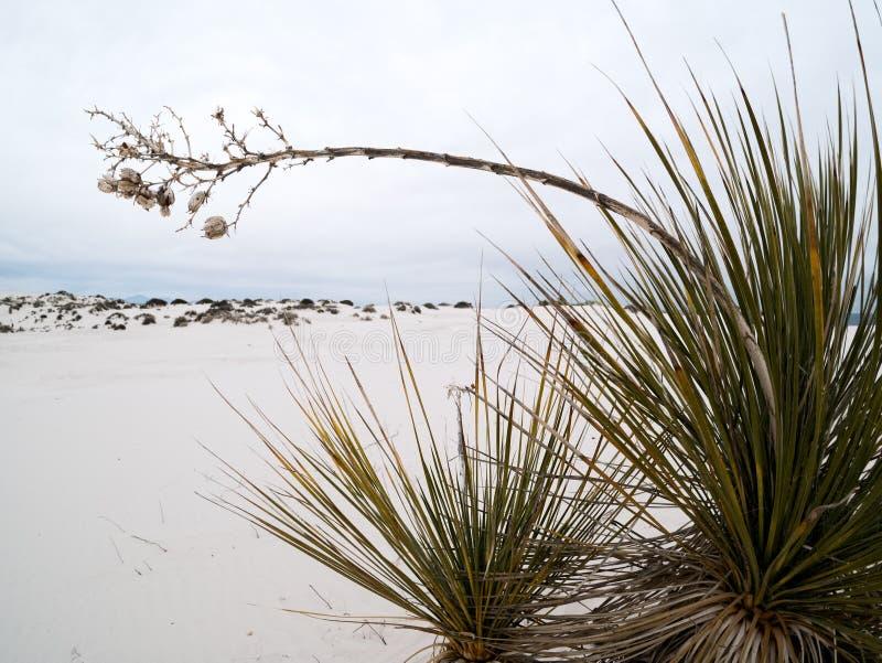 Planta de la yuca en las arenas blancas fotos de archivo libres de regalías
