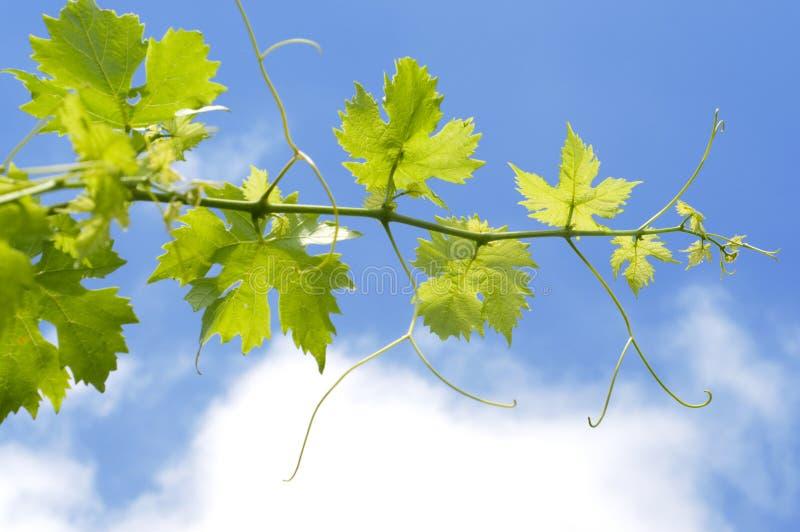 Planta de las uvas imagen de archivo