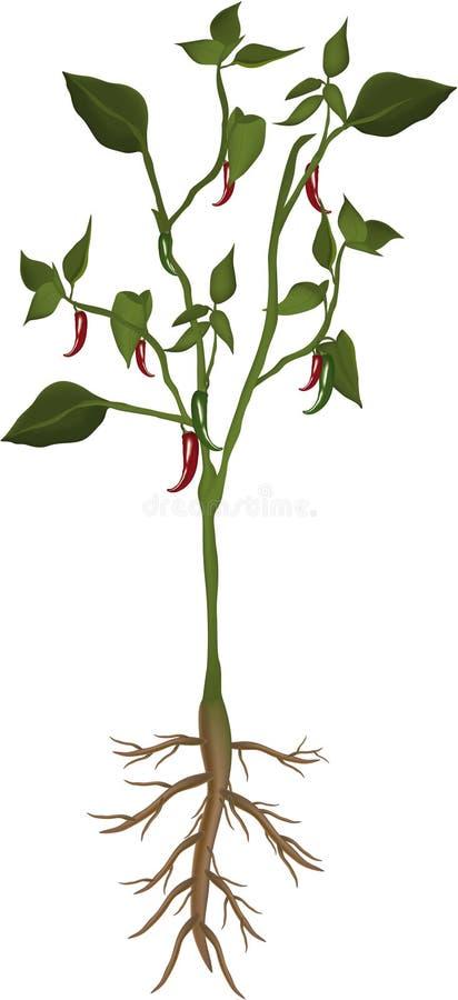 Planta de los chiles stock de ilustración