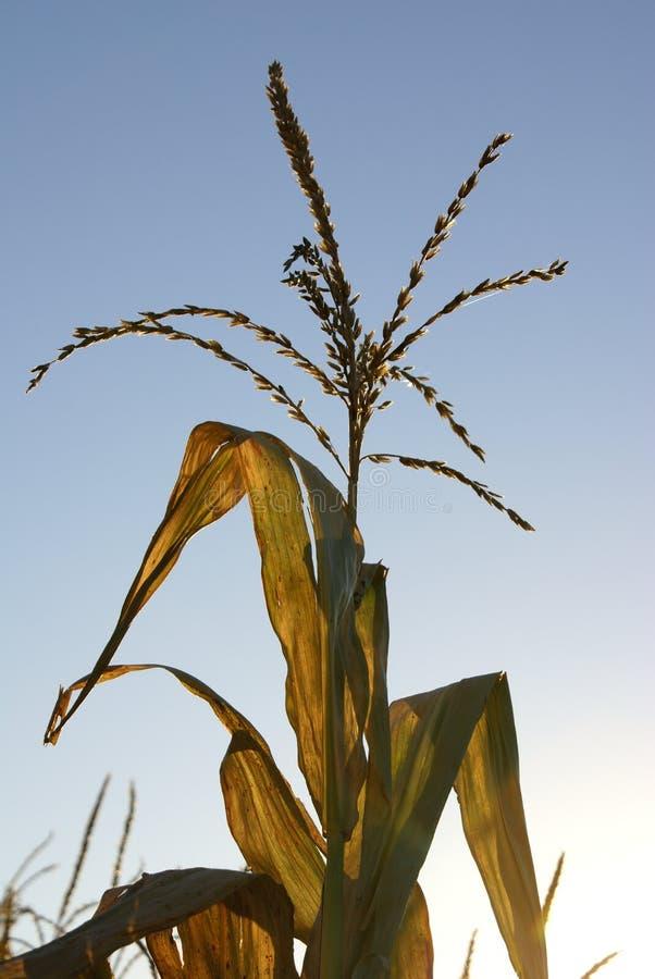 Planta de maíz foto de archivo