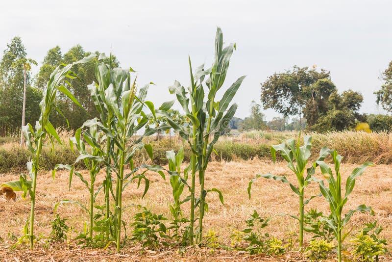 Planta de maíz fotos de archivo