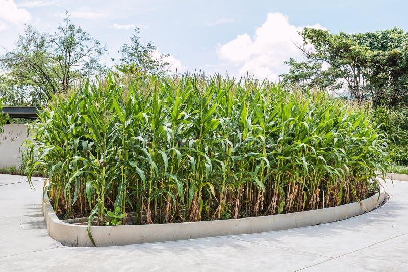 Planta de maíz imagenes de archivo