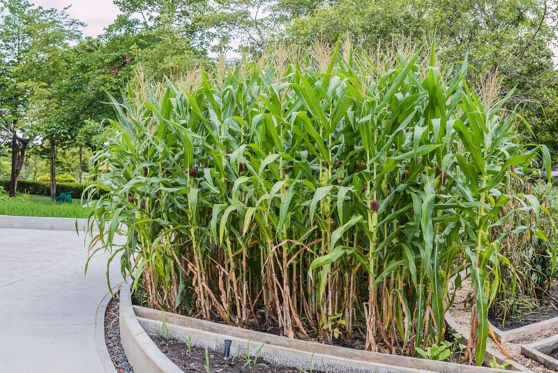 Planta de maíz fotografía de archivo