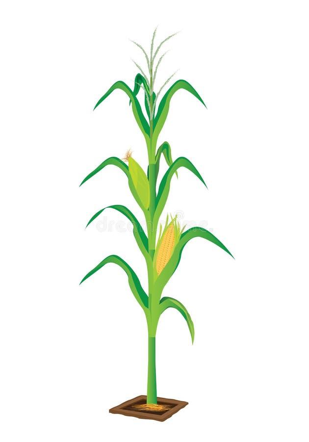 Planta de maíz stock de ilustración