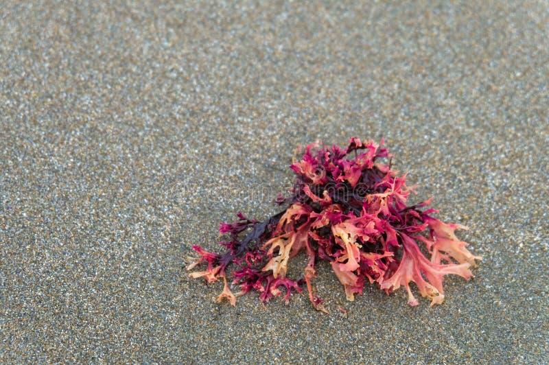 Planta de mar en la playa en Oregon, los E.E.U.U. imagen de archivo