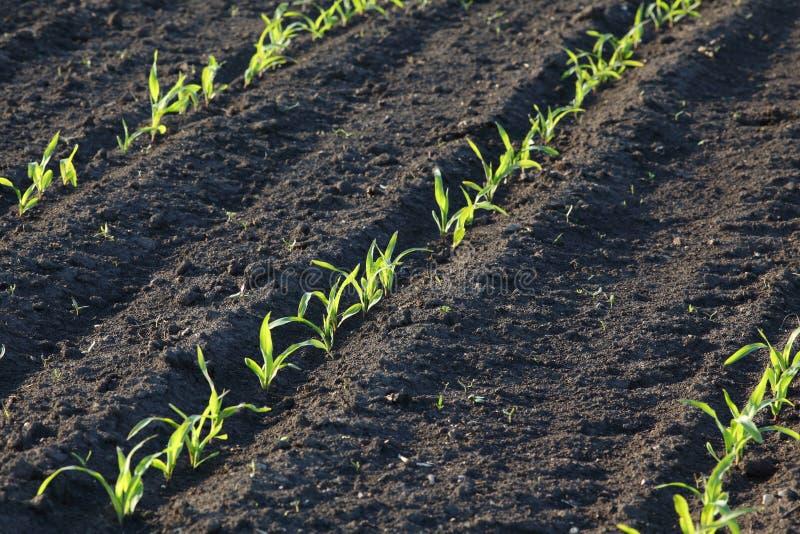 Planta de milho verde no campo, tempo de mola fotos de stock