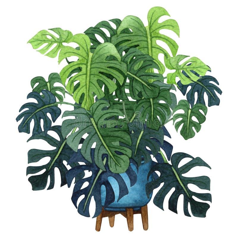 Planta de Monstera com as folhas verdes grandes em um potenciômetro azul ilustração do vetor