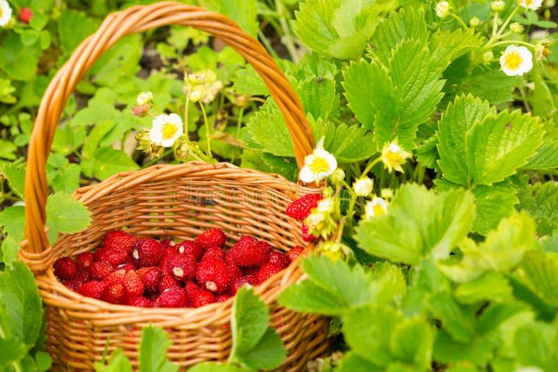 Planta de morango Bagas deliciosas maduras vermelhas suculentas da palha selvagem fotografia de stock