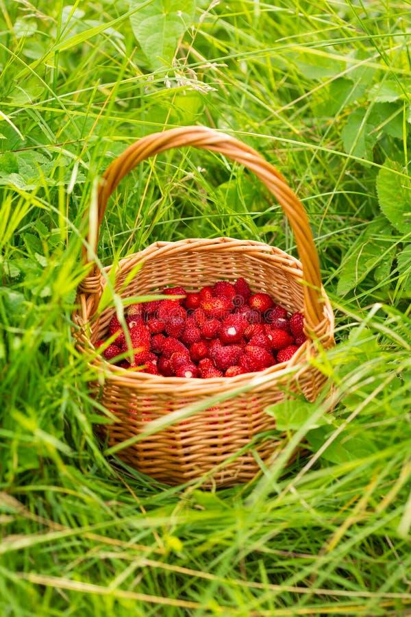 Planta de morango Bagas deliciosas maduras vermelhas suculentas da palha selvagem imagens de stock
