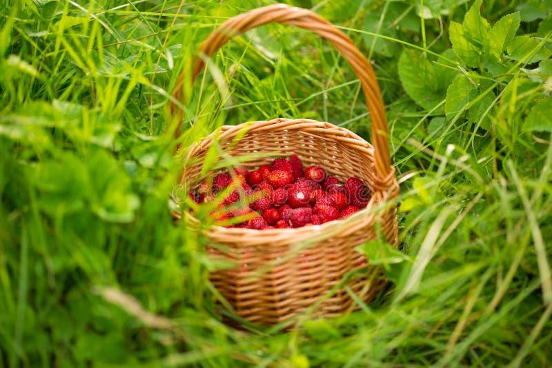 Planta de morango Bagas deliciosas maduras vermelhas suculentas da palha selvagem imagem de stock