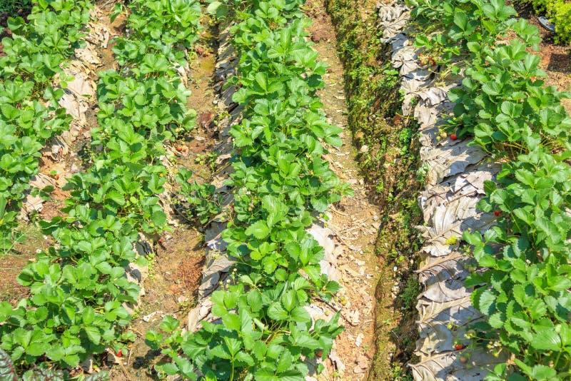 Planta de morango com folhas das flores e frutos de bagas maduros imagem de stock royalty free