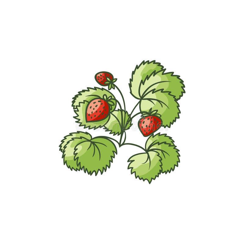 Planta de morango com folhas verdes, bagas maduras ilustração do vetor