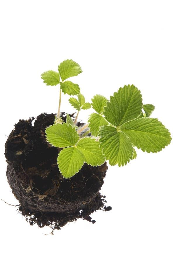 Planta de morango crescente no solo imagens de stock royalty free