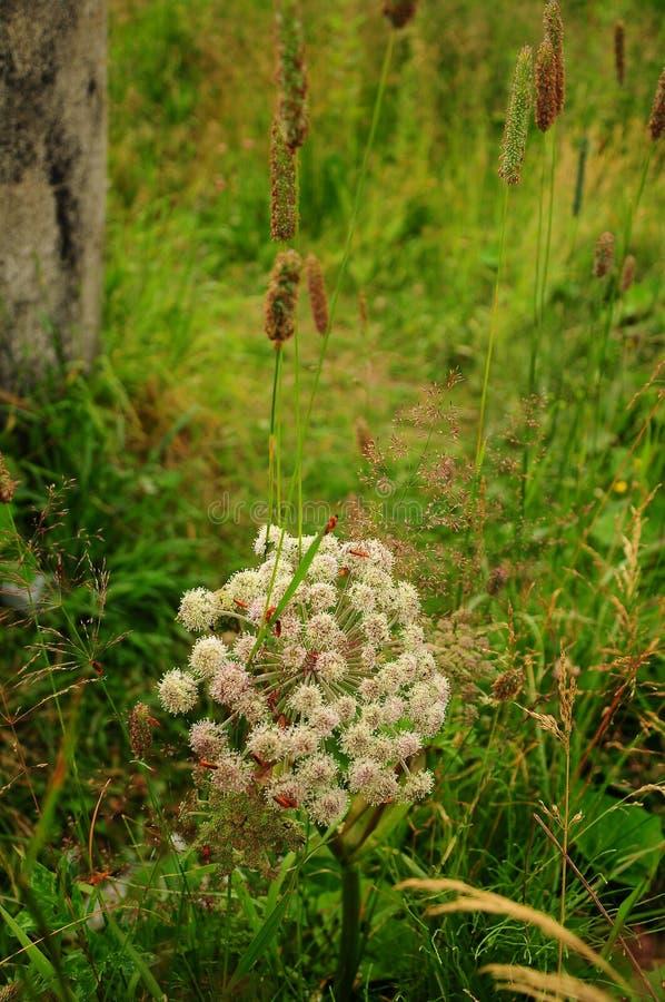 Planta de paraguas en la hierba, macra imagenes de archivo
