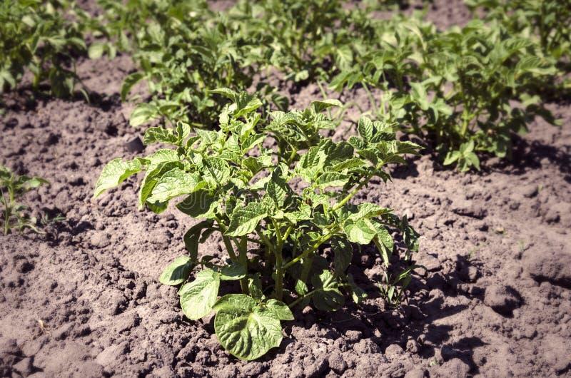 Planta de patata de Bush en una cama de la granja foto de archivo libre de regalías