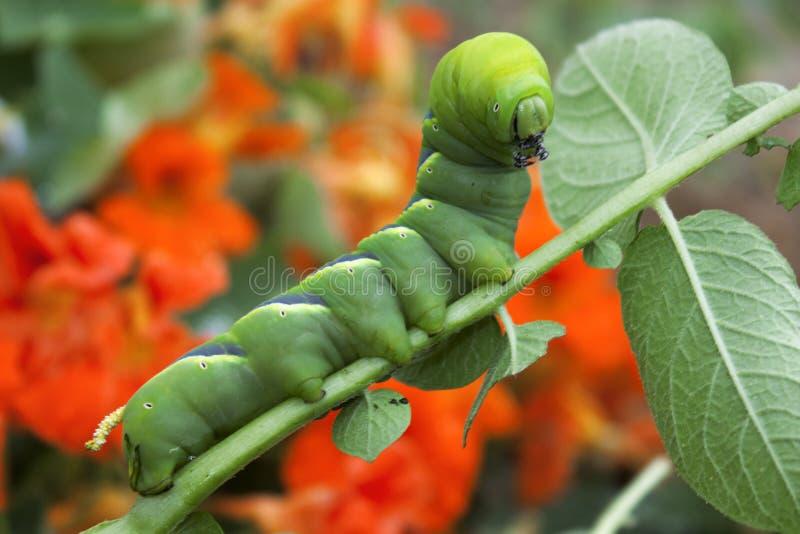 Planta de patata canterpillar colorida de la consumición fotografía de archivo