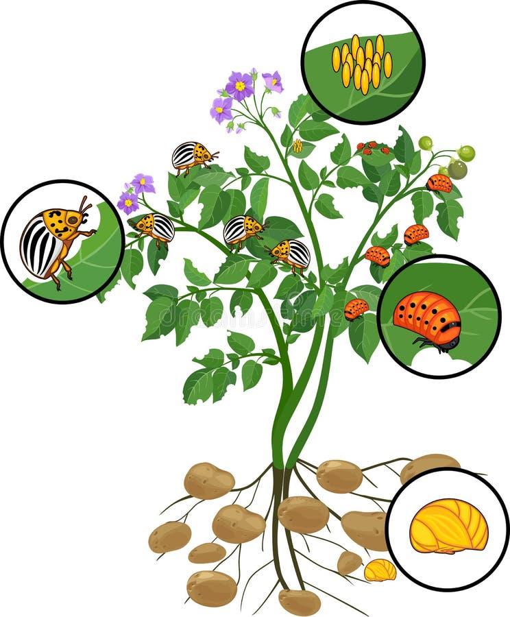 Planta de patata con el sistema de la raíz y diversas etapas del desarrollo del escarabajo de patata de Colorado o del decemlinea ilustración del vector