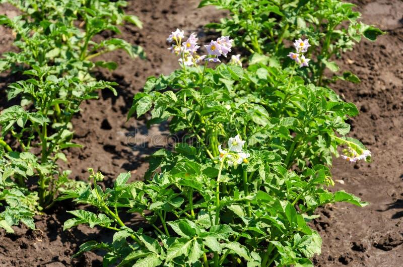 Planta de patata con las flores en la cama vegetal foto de archivo libre de regalías