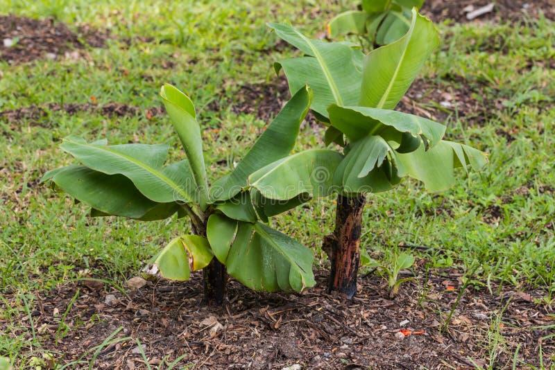 Planta de plátano fotos de archivo