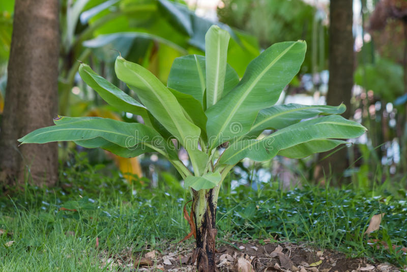 Planta de plátano fotos de archivo libres de regalías