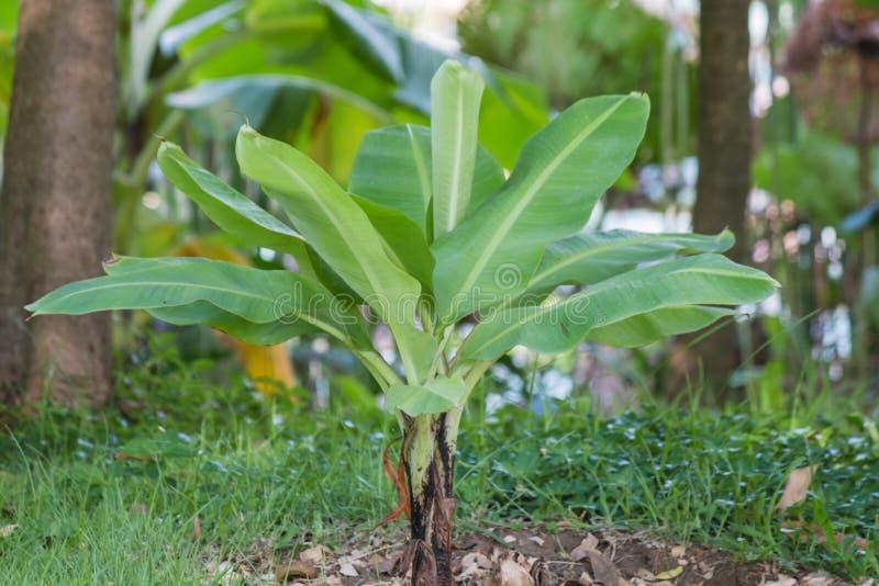 Planta de plátano imagenes de archivo