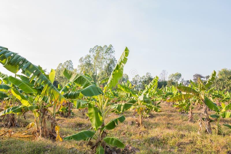 Planta de plátano imagen de archivo