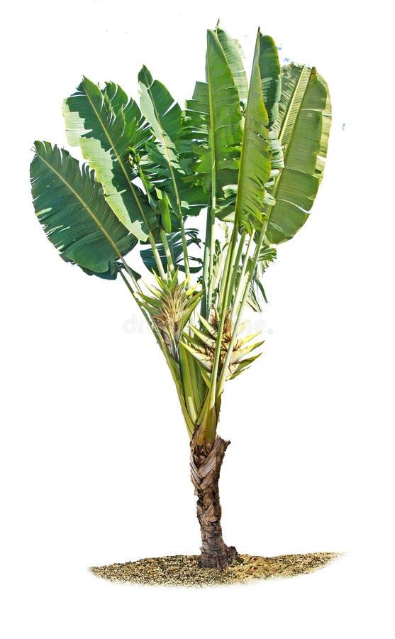 Planta de plátano aislada en blanco foto de archivo
